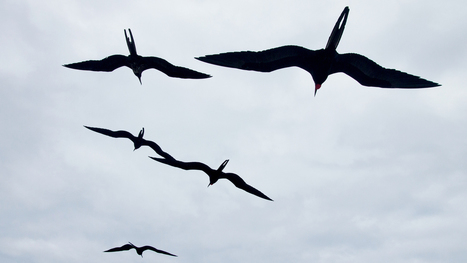 Nonstop Flight: How The Frigatebird Can Soar For Weeks Without Stopping | Storypost | Scoop.it