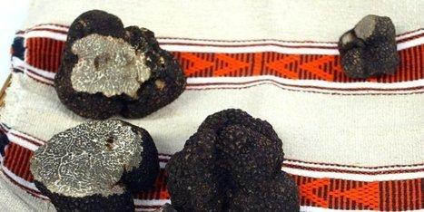 Dordogne : ça commence à sentir la truffe... | Agriculture en Dordogne | Scoop.it