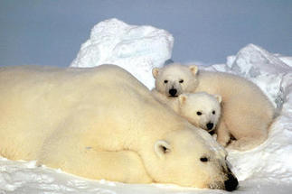 Steven Amstrup says it's not too late to save polar bears – and ourselves | global warming = polar bears dying | Scoop.it