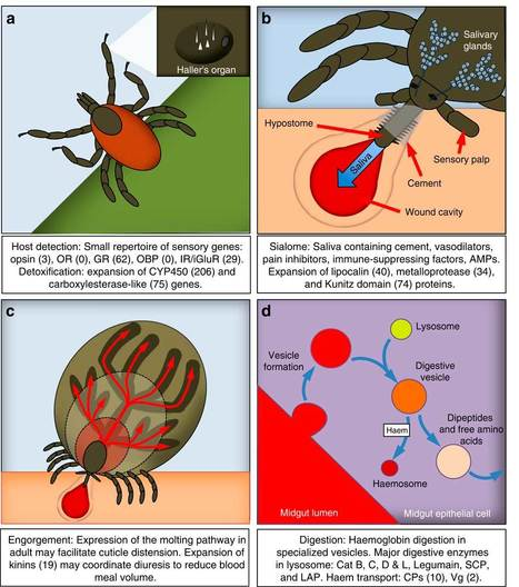 Genomic insights into the Ixodes scapularis tick vector of Lyme disease : Nature Communications | MycorWeb Plant-Microbe Interactions | Scoop.it