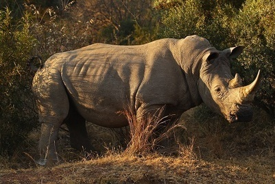 WildAid warns against legalising rhino horn trade | What's Happening to Africa's Rhino? | Scoop.it