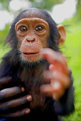 Kingpin behind bars for trafficking chimps   Kruger & African Wildlife   Scoop.it