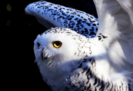 How owls swivel head without having a stroke - Futurity | Science | Scoop.it