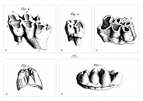 Une molaire… et le monde fossile s'éclaire ! - Sciences - France Culture | Aux origines | Scoop.it