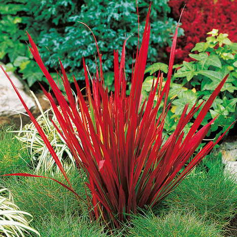 Japanese Blood Grass - a warm-season ornamental grass that is selected for its attractive, red-tipped foliage. It grows well in U.S. Department of Agriculture plant hardiness zones 5 through 9 and ... | Japanese Gardens | Scoop.it