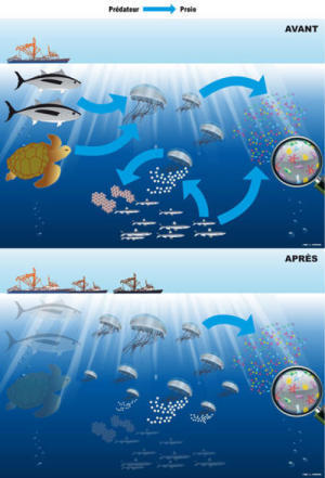 Boom In #Jellyfish Linked To #Overfishing | Rescue our Ocean's & it's species from Man's Pollution! | Scoop.it