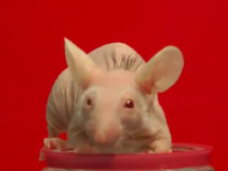 Researchers successfully grow hair on bald mouse: Humans next? | Quite Interesting News | Scoop.it