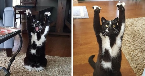 This Cat Keeps Putting Its Paws In The Air And Nobody Knows Why | Cats Rule the World | Scoop.it