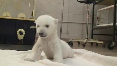 Watch a Toronto Zoo polar bear cub take his first steps | Bears | Scoop.it