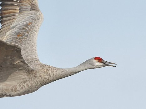 500,000 Cranes Are Headed for Nebraska in One of Earth's Greatest Migrations | #WildlifeWatch | Scoop.it