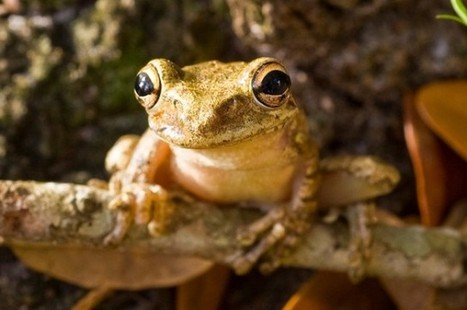 Immunizing Frogs Against a Killer Fungus | IFLScience | Wildlife Conservation and Biodiversity | Scoop.it