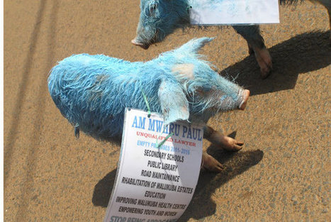 Opponents attack MP with blue piglets - National   Trending in Uganda   Scoop.it