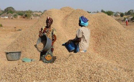 Des paysans déboussolés bradent  leur arachide pour faire face aux urgences | Questions de développement ... | Scoop.it