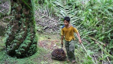 Indonesia, il lavoro minorile forzato imposto dai marchi che usano olio di palma   R*ESIST   Scoop.it