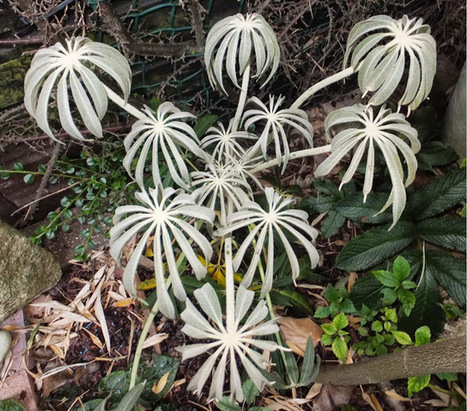 Alternative Eden Exotic Garden: A Season of Scheffleras | Cool Sites I love | Scoop.it