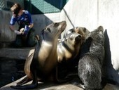 Hundreds of Sick Sea Lion Pups Wash Ashore | Science Wow Factor | Scoop.it