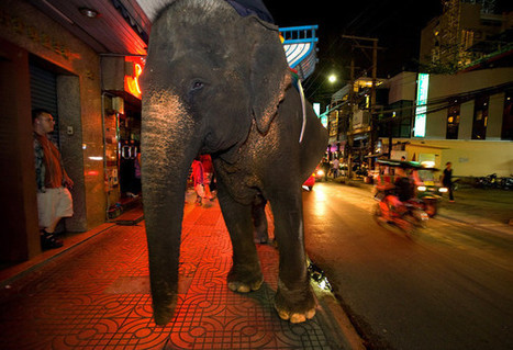 Friends of the Asian Elephant Foundation Pushes to Get Elephants out of Cities | Chiang Rai Times English Language Newspaper | Impact on Wildlife | Scoop.it