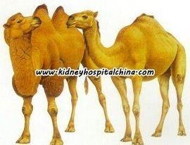 حليب الابل و المرض الكلوي المزمن   أمراض الكلية في السعودية   Scoop.it