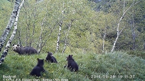 Pyrénées : Une ourse et ses trois oursons filmés en Ariège | The Blog's Revue by OlivierSC | Scoop.it