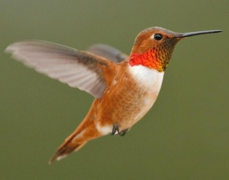 BIODIVERSITY: Dinosaurs lost the ability to taste sugar; hummingbirds re-evolved it | > Animal Welfare | Scoop.it