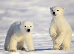 Fact Attack: Endangered Species No. 112 - The Polar Bear | GarryRogers NatCon News | Scoop.it