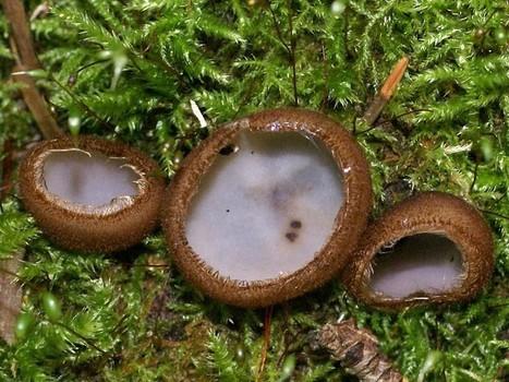 Photo de Pyronemataceae (Pezizales) : Pézize hémisphérique - Humaria hemisphaerica - Peziza hemisphaerica | Faaxaal Forum Photos gratuite Faune et Flore | Scoop.it