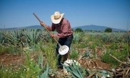 In Mexico's tequila-making heartland an age-old craft is in danger of dying out   Tequila   Scoop.it