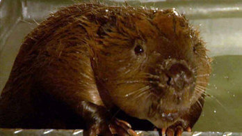 http://news.stv.tv/scotland/279490-rspb-scotland-wildlife-charity-backing-scottish-beaver-projects/
