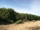 Citrus growers on high alert for crop-killing disease | KSWT (TV-Yuma) | CALS in the News | Scoop.it