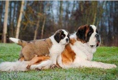 10 Monstrous Dog Breeds | Dog Lovers | Scoop.it