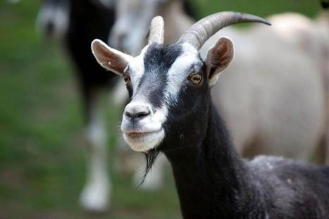 Goats are far more intelligent than previously thought | Amazing Science | Scoop.it
