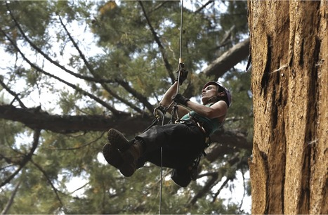 Giant sequoias showing signs of stress because of California's drought   phenotyping   Scoop.it