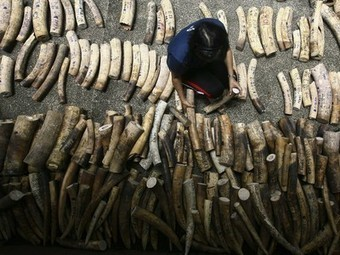 Philippines first consuming nation to destroy its ivory stock | Wildlife Trafficking: Who Does it? Allows it? | Scoop.it