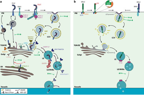 Annual Review of Phytopathology: A Moving View: Subcellular Trafficking Processes in Pattern Recognition Receptor–Triggered Plant Immunity (2015) | Publications from The Sainsbury Laboratory | Scoop.it