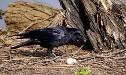 Crow and the vernal egg | Nature Writing for print and broadcast by Paul Evans | Scoop.it