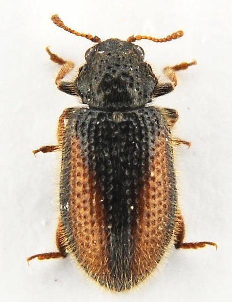 Présence dans l'Oise de Laricobius erichsoni (Coléoptère) | EntomoNews | Scoop.it