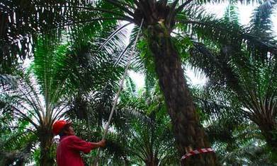 Palm oil production: what are the social and environmental impacts? | green | Scoop.it