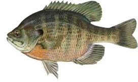 Fishing Lure for Sale in Australia: Madeye 38 Bream Lure Anglers in Australia   Bream Lure   Scoop.it