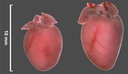Scientists prevent heart failure in mice | Longevity science | Scoop.it