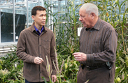 Corn dwarfed by temperature dip suitable for growing in caves, mines | MAIZE | Scoop.it