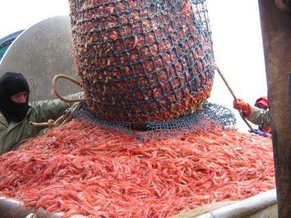 La pénurie de crevettes inquiète | EntomoNews | Scoop.it