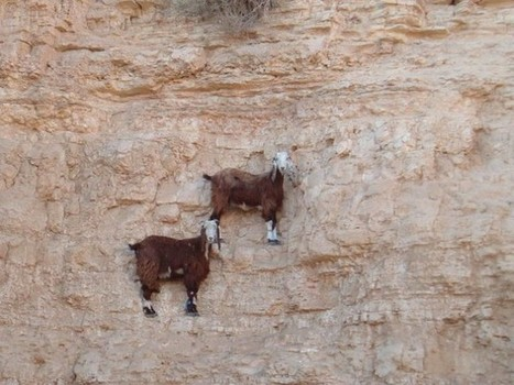 13 Pictures of Crazy Goats on Cliffs - It's just what they do. | Evrystry (because EVERY STORY matters) | Scoop.it