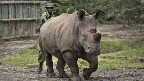 Une tentative pour sauver le rhinocéros blancs du Nord | Chronique d'un pays où il ne se passe rien... ou presque ! | Scoop.it