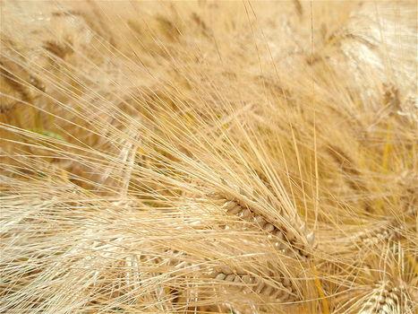 Le premier blé OGM, bientôt dans les champs | Economie Responsable et Consommation Collaborative | Scoop.it