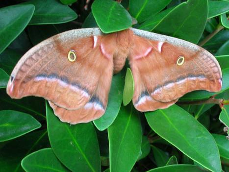DARPA Controls Cyborg Moths in Flight, Mothpocalypse a Reality | Technoculture | Scoop.it