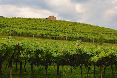 Allarme vino: produzione a meno 20% Peronospora e meteo, dramma nei vigneti | Fondazione Mach | Scoop.it