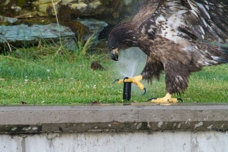 Baby Bald Eagle Discovers the Wonders of a Pulsating Water Sprinkler | Inspiration: Imagine. See the possibilities. | Scoop.it