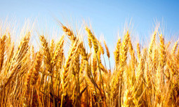 Rising CO2 Levels Will Make Staple Crops Less Nutritious | EcoWatch | Scoop.it