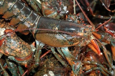 Lobster Council working with European governments to combat threat to live lobster imports | Nova Scotia Fishing | Scoop.it