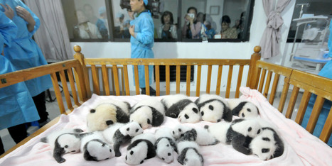 Baby Pandas China: 14 New Babies On Display At Breeding Base - Huffington Post Canada | Wildlife In The United States and Canada | Scoop.it